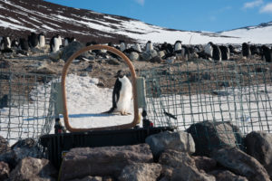A penguin is considering how it likes the new model of weigh bridge.